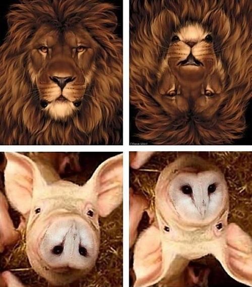 optical illusion, lion, mouse, pig, owl
