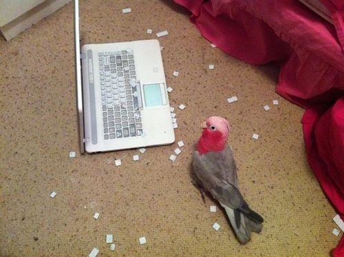 bird, keyboard, laptop, troll