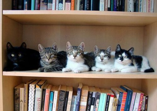 cats in a row on a book shelf