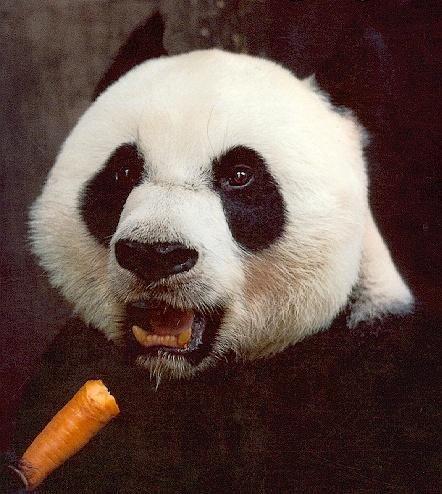 panda, surprise, carrot, mouth open