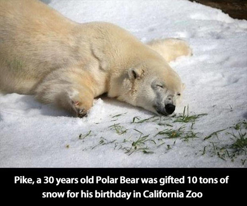 pike a 30 years old polar bear was gifted 10 tons of snow for his birthday in California zoo
