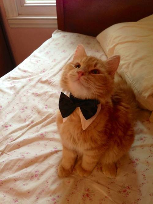 cat, bow tie, adorable, cute