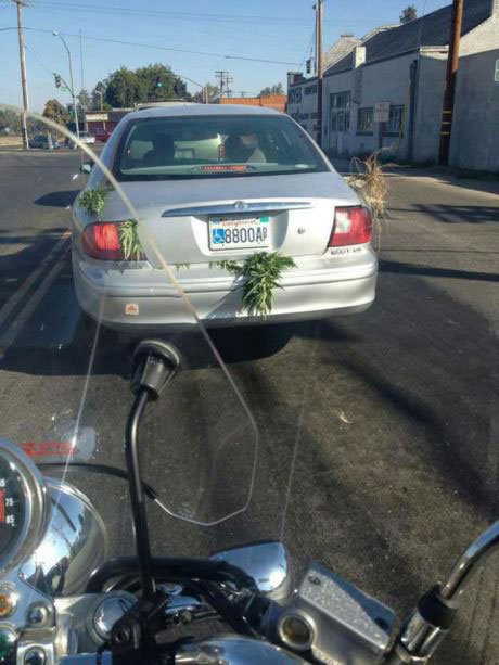car, marijuana plant, trunk, fail