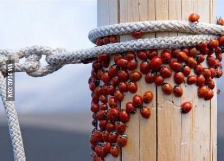 ladybugs, post, rope, insects, bugs