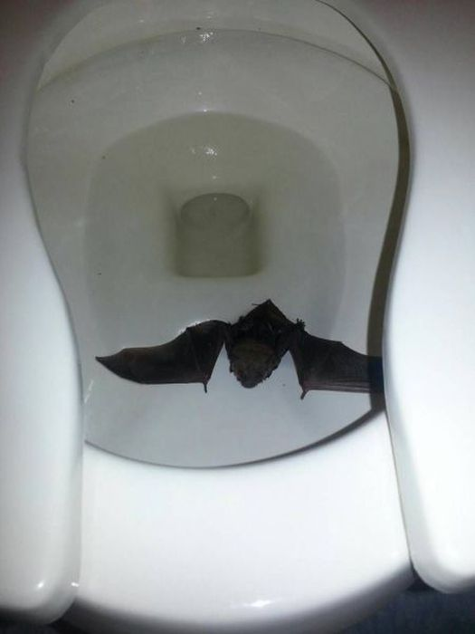 Dead Bat Found In Toilet Bowl