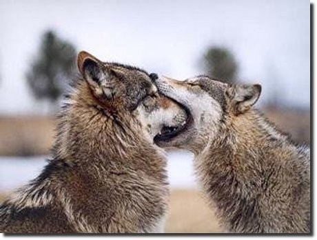 wolf, face, mouth