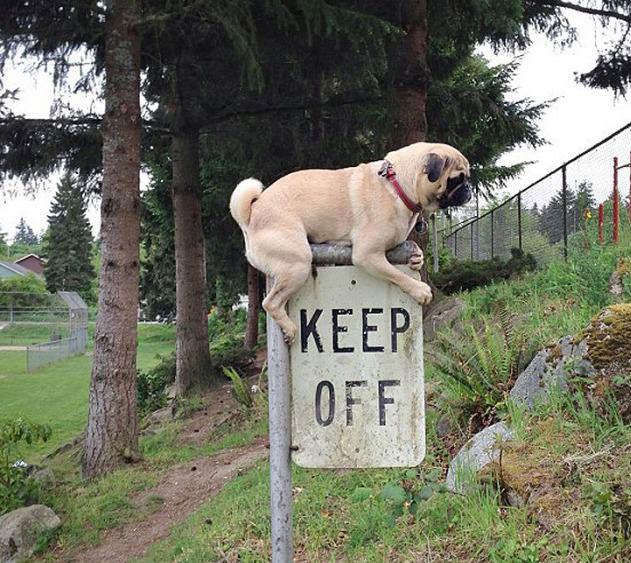 pug, sign, keep off, rebel