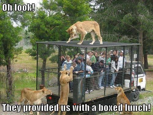 oh look, boxed lunch, lion, tourist, safari, meme