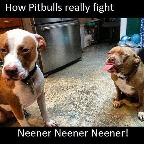 how pitbulls really fight, neener never neener, expectation, reality