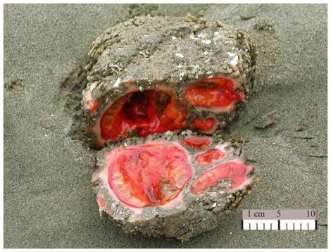 living rock, wtf, nature, pyura chilensis