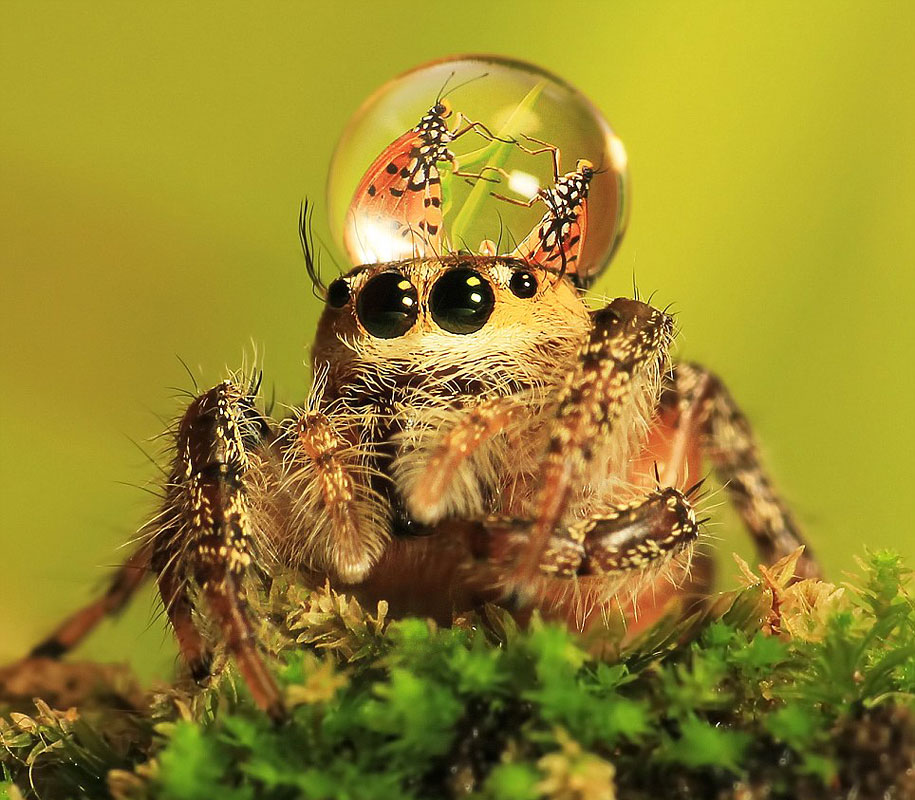 macro, jumping spider, water droplet, hat, lol, wtf