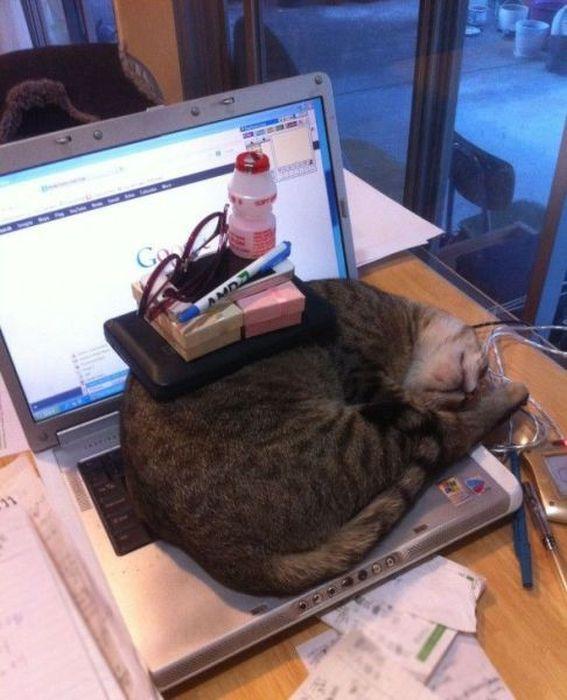 cat, pile on, sleeping, laptop