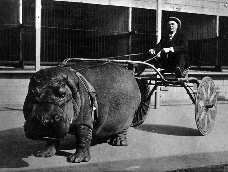 hippopotamus, cart, wtf, black and white