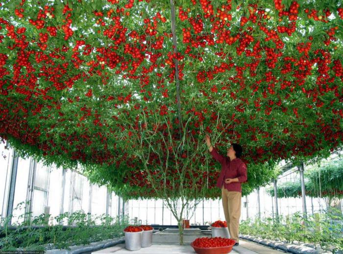 tomatoes, wow, tree