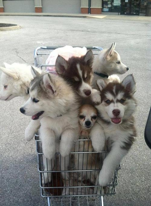 dogs, puppies, shopping cart, basket, cute