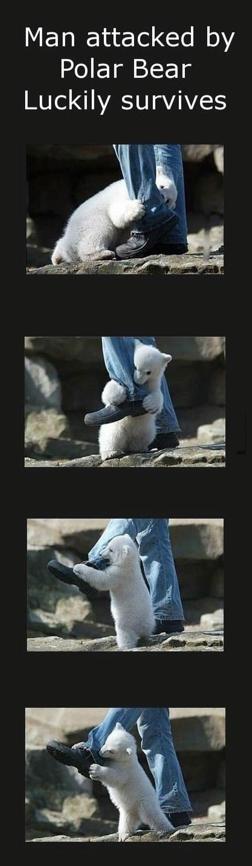 polar bear attack, survival