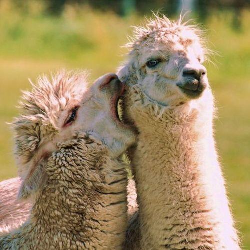 llama, yell in ear