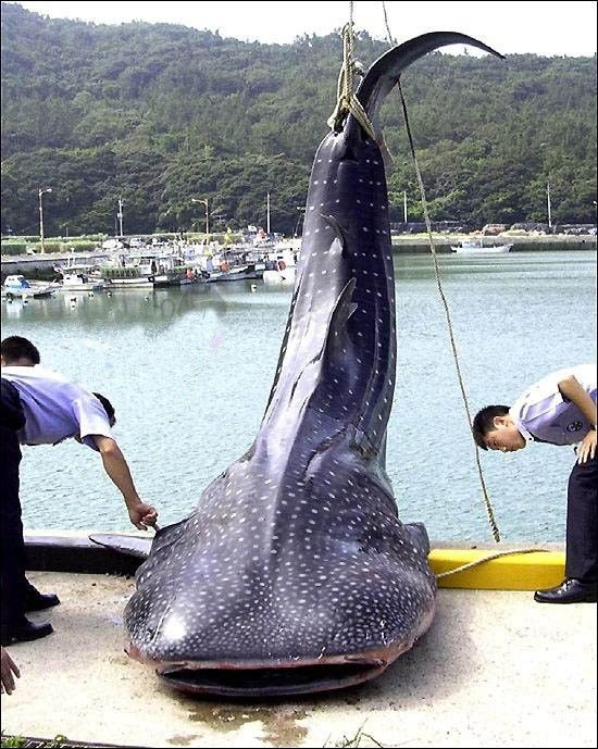 giant fish, caught, wtf, huge