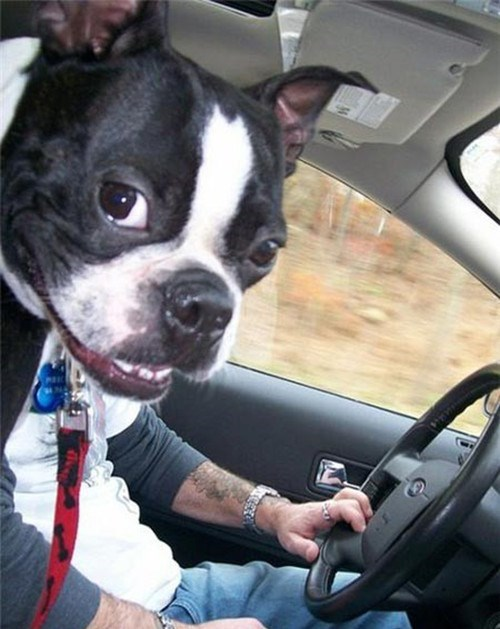 dog, perspective, driving, head, lol, smile