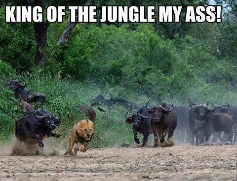 king of the jungle my ass, lion getting chased by boar, meme