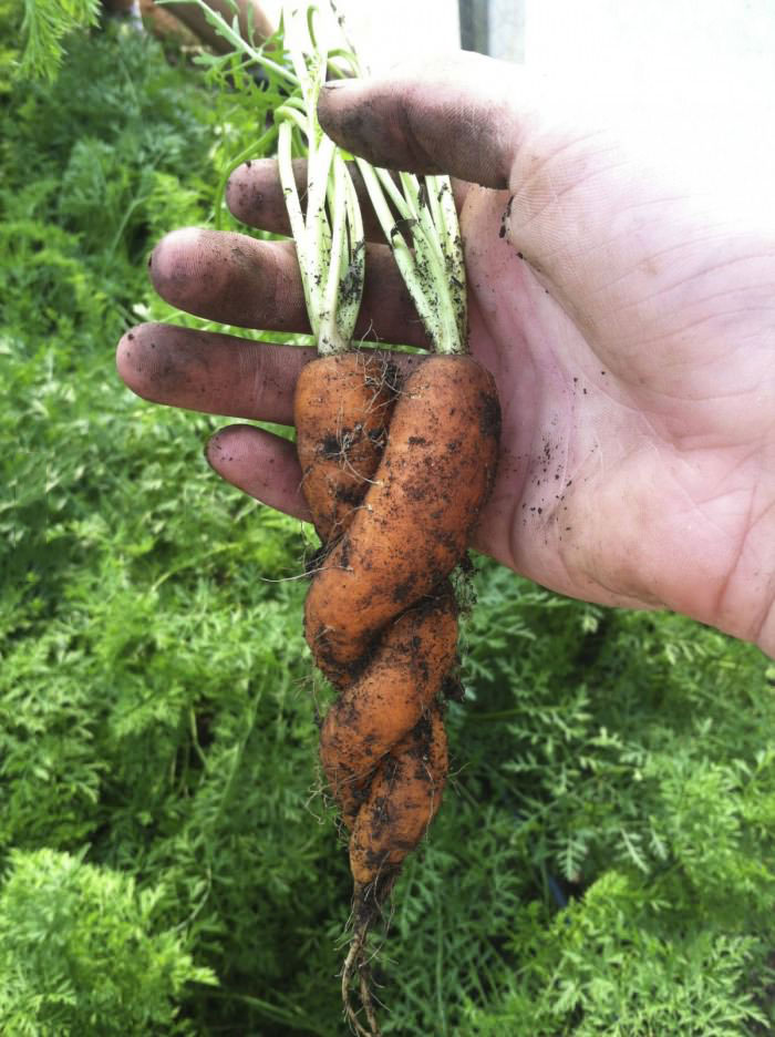 caring carrots, twisted, love, vegetables