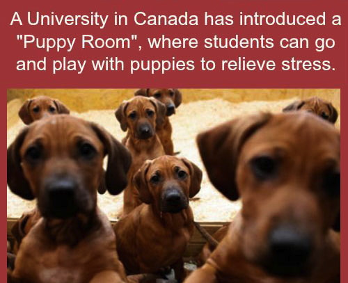 a university in canada has introduced a puppy room, where students can go and play with puppies to relieve stress