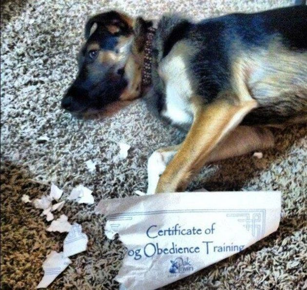 dog, certificate of obedience training, ripped, lol, guilty