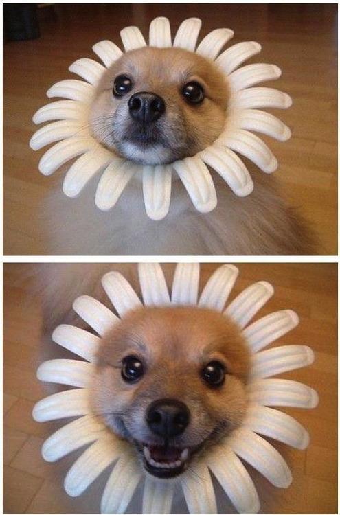 dog, flower, bloom, smile, cute