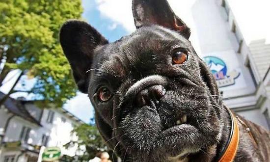 dog, growl, face, macro