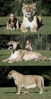 lion, tiger, huge, big, animal