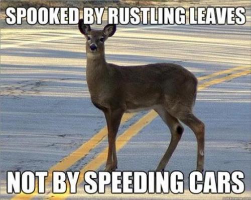 spooked by rustling leaves, not by speeding cars, deer logic, wtf, meme