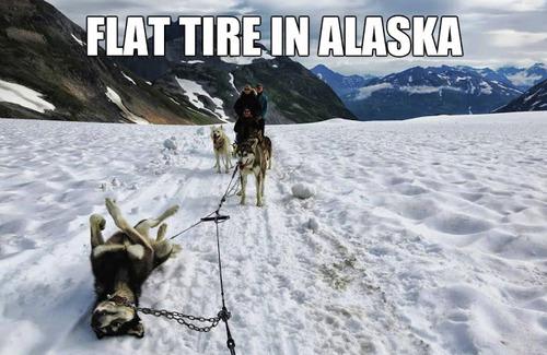 flat tire in alaska, meme, husky, dog, resting
