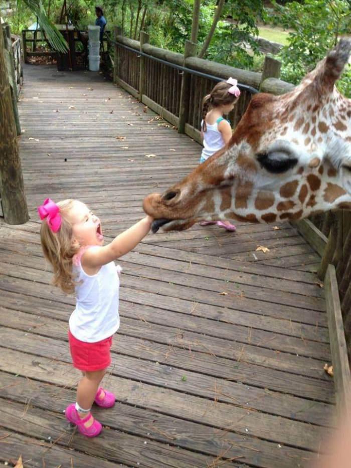 giraffe, eating hand, lol, little girl