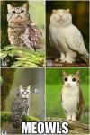 mashup, photoshop, meowls, cat, owls, lol