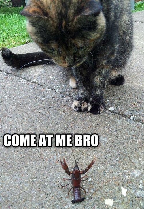 come at me bro, meme, cat, scorpion, mini lobster
