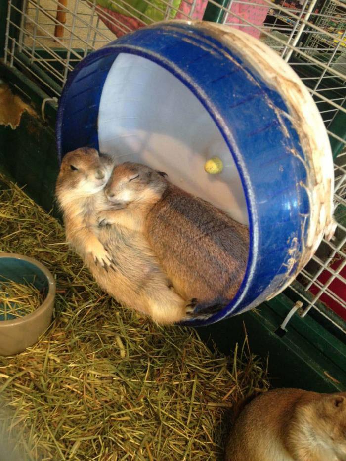 prairie dogs cuddling like humans