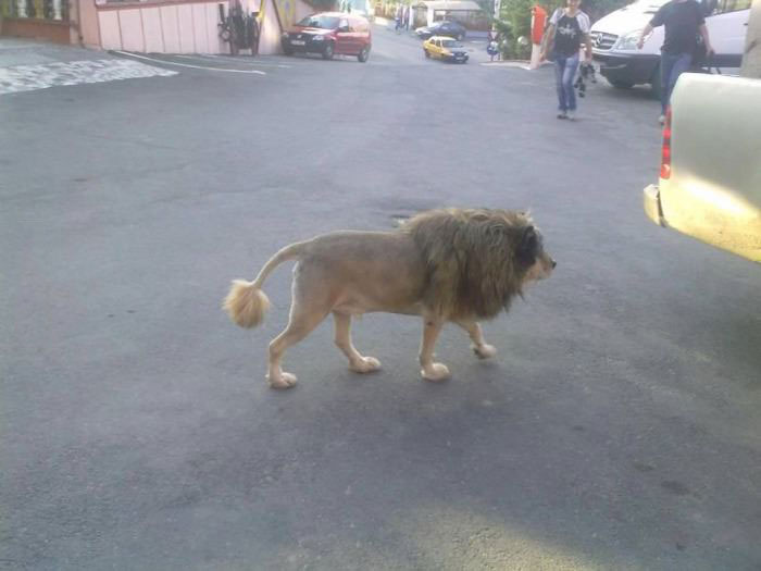 dog, hair cut, lion, lol