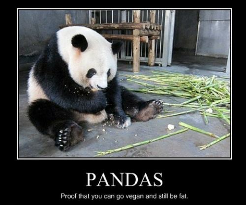 pandas, proof that you can go vegan and still be fat, motivation