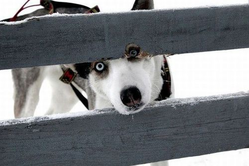 dog, clever, hole in fence, spectacle, lol