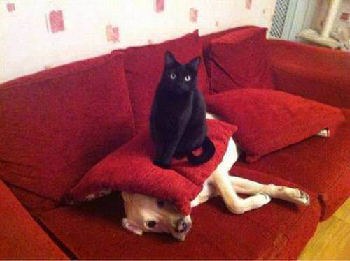 cat, dog, sit, pillow