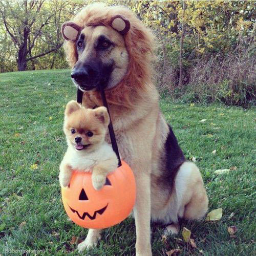 halloween, dog, costume, puppy, cute