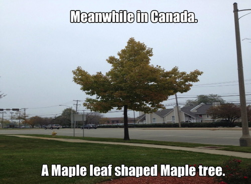 meanwhile in canada, maple leaf shaped maple tree