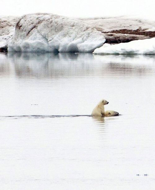 polar bear, cub, swimming, ride