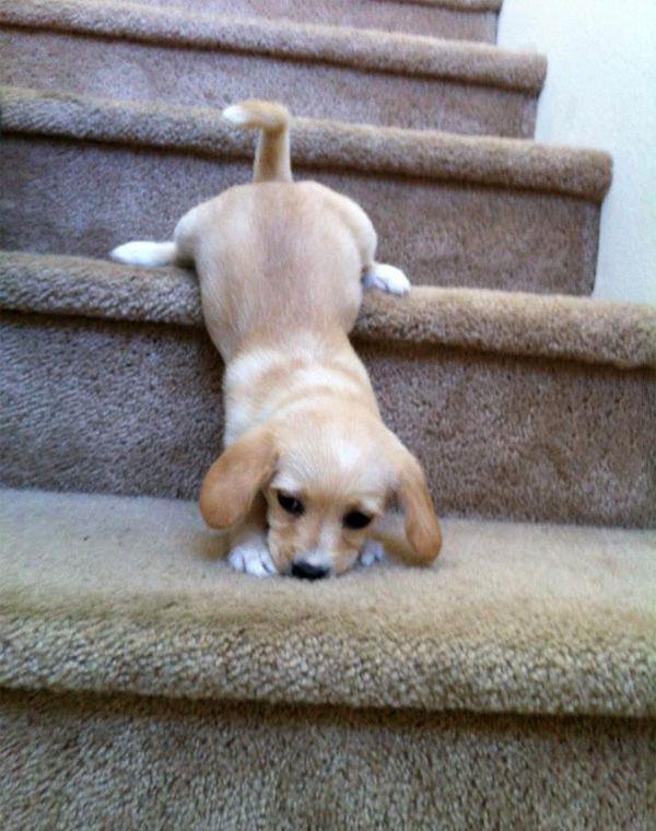 puppy, dog, stairs, fail