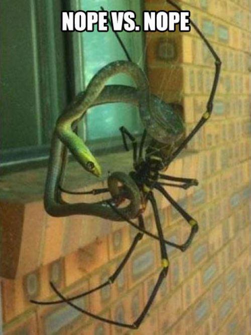 spider versus snake, nope, meme