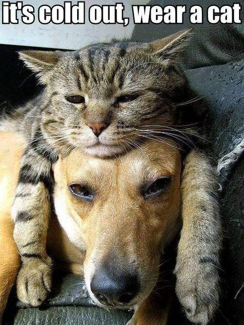 it's cold out, wear a cat, dog with cat laying on head, cute, meme