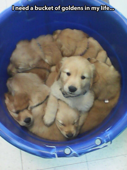 bucket of golden retrievers, dogs, puppies