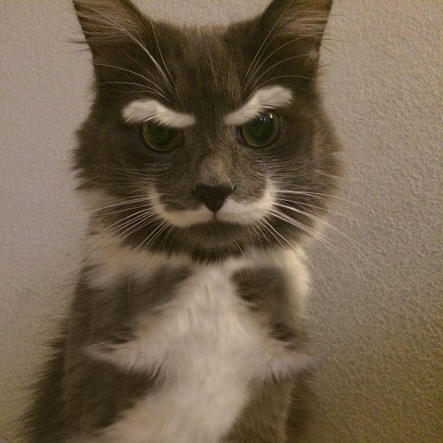 cat, white moustache and eyebrows
