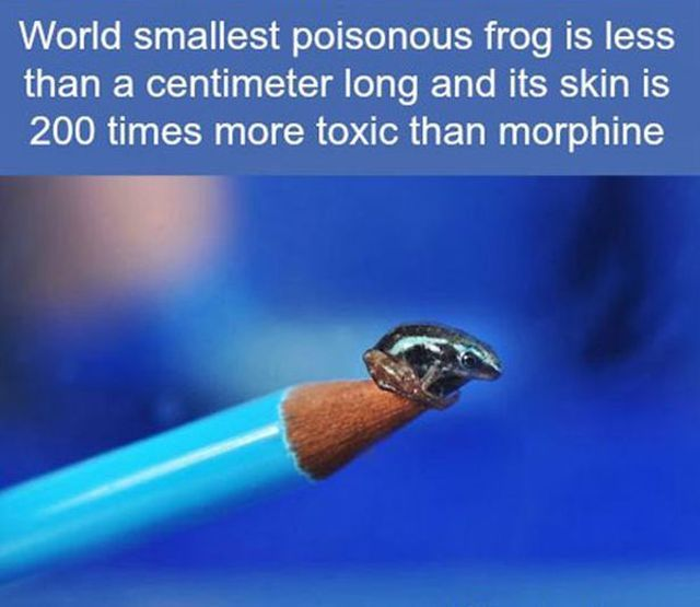 world's smallest poisonous frog