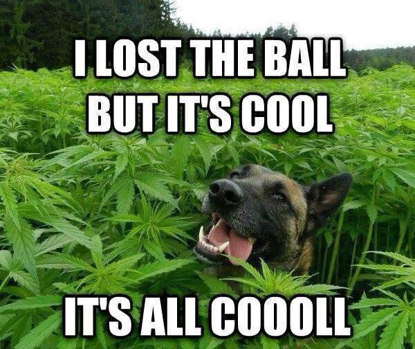 i lost the ball but it's cool, it's all cool, dog in marijuana field, meme